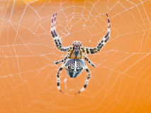 Top view of spider at cobweb royalty free stock photography