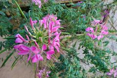 Top view of spider flower on blurred branch and leaf background. Top view of spider flower on blurred branch and leaf background Cleome spinosa,Capparaceae royalty free stock photo