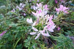 Top view of spider flower on blurred branch and leaf background. Cleome spinosa,Capparaceae royalty free stock photography