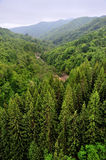 Top view of the spruces forest Stock Photos