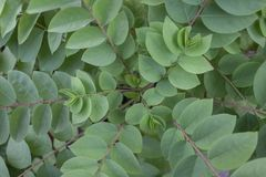 Top view of Star gooseberry or Phyllanthus acidus tree. royalty free stock photography