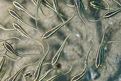Top view of Striped eel catfish. Royalty Free Stock Image
