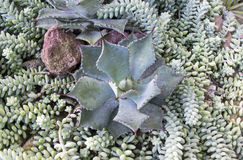 Top view of succulent plants Stock Photo