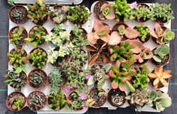 Top view of succulents Royalty Free Stock Image