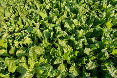 Top view on sugar beet field plant Royalty Free Stock Photo