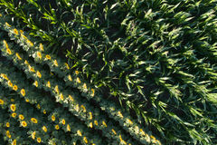 Sunflower and corn field Stock Photo