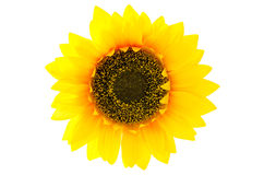 Top view of sunflower Stock Image