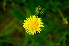 Top view sunny yellow dandelion flower, close up Stock Photo