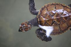 Top view of swimming Young small green sea turtle in sea water. Cute sea turtle closeup. Marine species in wild nature backgrounds. Growth farming animal stock images