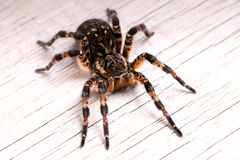 Top view of tarantula spider Stock Images