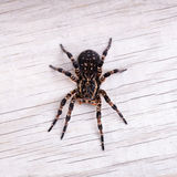 Top view of tarantula spider Stock Image