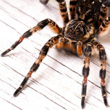 Top view of tarantula spider Royalty Free Stock Photography