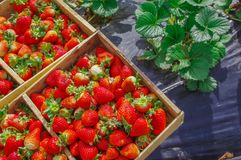 Top view of tasty ecuadorian strawberries freshly collected on a wooden box over a black plastic protection field and. Some strawberries leafs royalty free stock photo