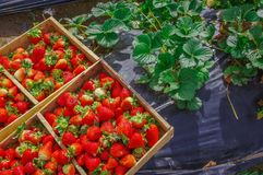 Top view of tasty ecuadorian strawberries freshly collected on a wooden box over a black plastic protection field and. Some strawberries leafs royalty free stock photos
