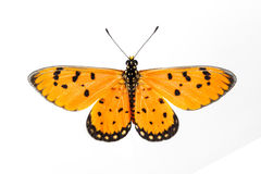 Top view of Tawny Coster butterfly. Tawny Coster butterfly open wing on white background royalty free stock image