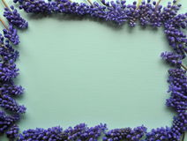 Top view of a teal mint green background with purple violet lavender spring bulb flowers for copy and text Royalty Free Stock Photos