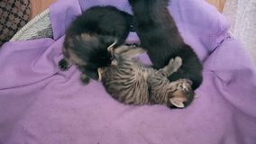 New born baby kittens playing together in a cat basket. Top view of three new born kittens resting together in a cat basket stock video footage
