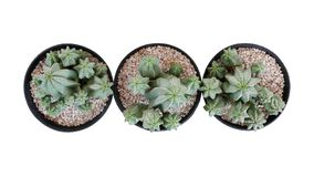 Top view of three small potted cactus succulent Tanzanian Zipper plant Euphorbia anoplia the chunky green stemless succulent. With similar look of a cactus stock photography
