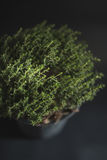 Top view of Thyme Faustini pot Royalty Free Stock Images