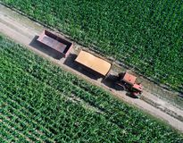 Tractor transporting grains in trailer. Top view of tractor with two trailers transporting wheat grains after harvest on dirt road with corn fields around in royalty free stock photography