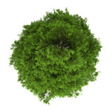 Top view of tree of heaven isolated on white Royalty Free Stock Images