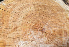 Top view of tree stump with section of the trunk Royalty Free Stock Photos