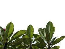 Top view tree tropical leaf with branches isolated on white backgrounds,green foliage for backdrop. Bush, botanical, colors, veins, lush, fresh, environment royalty free illustration