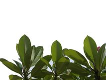 Top view tree tropical leaf with branches isolated on white backgrounds,green foliage for backdrop. Bush, botanical, colors, veins, lush, fresh stock illustration