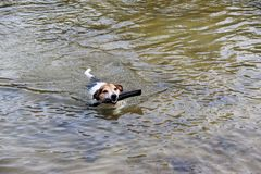 Top view on a tri color jack russell terrier swimming in the water having fun with the toy in meppen emsland germany. And photographed during a walk in the royalty free stock image