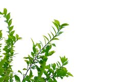 Top view tropical plant leaves with branches on white isolated background. For green foliage backdrop and copy space royalty free stock photo