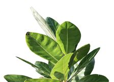 Top view of tropical tree leaves with branches isolated on white backgrounds for green foliage backdrop. royalty free stock image