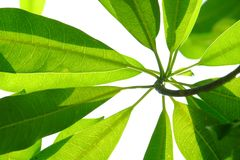 Top view tropical tree leaves with branches on white  background for green foliage backdrop. Top view tropical tree leaves branches white  background green stock image