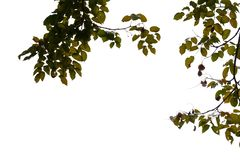 Top view tropical tree leaves with branches on white sky background. Green foliage backdrop royalty free stock images