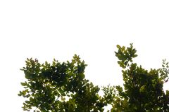 Top view tropical tree leaves with branches on white sky background. Green foliage backdrop royalty free stock image