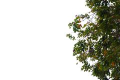 Top view tropical tree leaves with branches on white sky background. Green foliage backdrop stock photos