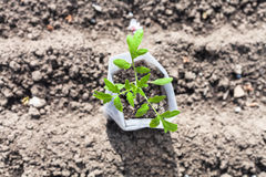 Top view of tube with young seedling of tomato Royalty Free Stock Images