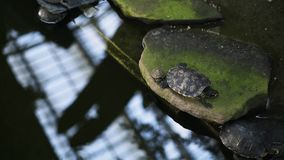 Top view of turtles in Botanical Garden Inside Atocha Train Station, Madrid. Top view of turtles of different sizes and ages sitting on rocks in Botanical Garden stock video