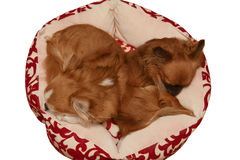 Top view of two cute sleeping chihuahua Royalty Free Stock Image