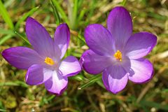 Top view of two purple crocuses in spring stock photography