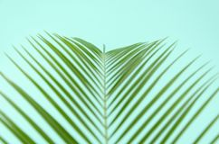 Top view unfocused closeup green leaf branch of palm tree on mint background.  royalty free stock photography