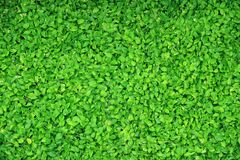 Top view of the vibrant green Devil`s Ivy plants with water droplets after watering