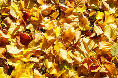 Top view of vivid autumn leaves linden closeup Stock Image