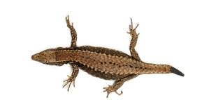 Top view of a Wall lizard with its tail cut Stock Image