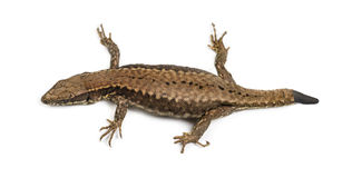Top view of a Wall lizard with its tail cut Stock Photo