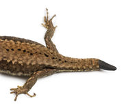 Top view of a Wall lizard with its tail cut Stock Photos