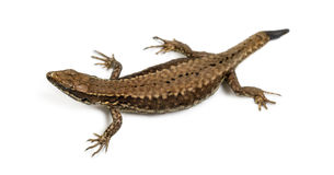 Top view of a Wall lizard with its tail cut Royalty Free Stock Photos