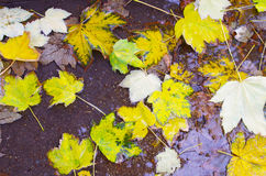 Top view of a wet autumn maple leaves closeup Royalty Free Stock Photography