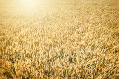 Top view of wheat field at harvest Royalty Free Stock Photo
