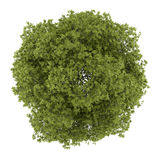 Top view of white ash tree isolated on white Stock Photography