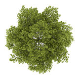 Top view of white ash tree isolated on white. Background Royalty Free Stock Images